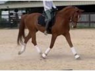 2007 Chestnut Gelding with sweet personality