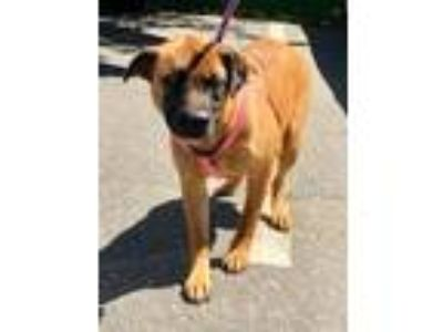 Adopt Dawn a German Shepherd Dog, Hound