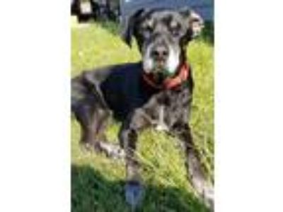 Adopt Rogue a Black Labrador Retriever / Great Dane / Mixed dog in Dallas