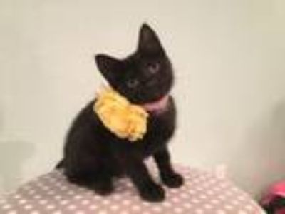 Adopt Finley a Domestic Short Hair