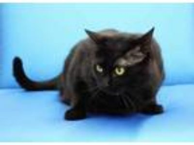 Adopt Salima a All Black Domestic Shorthair / Domestic Shorthair / Mixed cat in