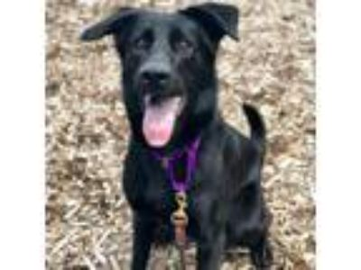Adopt Loca a Black Labrador Retriever / Collie / Mixed dog in Milwaukee