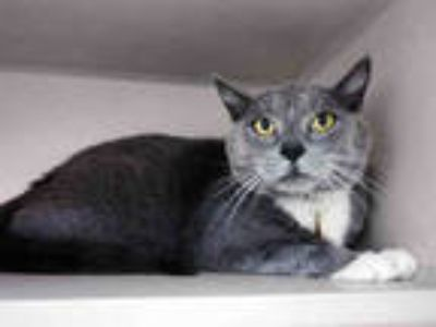 Adopt MURMUR a Gray or Blue (Mostly) Domestic Shorthair / Mixed (short coat) cat