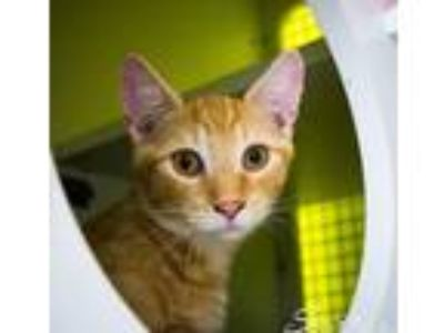 Adopt Bourbon a Orange or Red (Mostly) Domestic Mediumhair / Mixed cat in St.