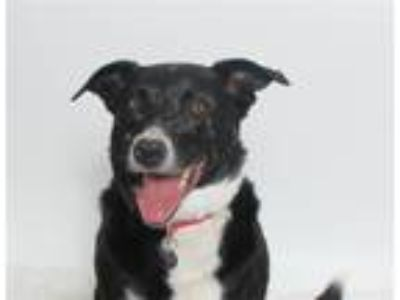 Adopt Sammie a Border Collie / Mixed dog in San Luis Obispo, CA (25486147)