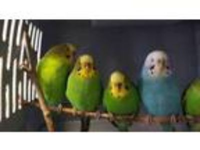 Adopt Safflower a Green Parakeet - Other / Mixed bird in Washington