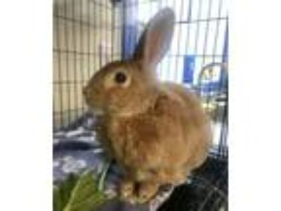 Adopt Apricot spayed female 7years a Other/Unknown / Mixed rabbit in Sterling