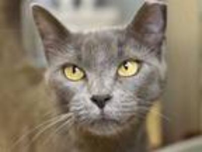 Adopt a Gray or Blue Domestic Shorthair / Mixed (short coat) cat in Austin