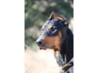 Adopt Cirilo a Black - with Tan, Yellow or Fawn Doberman Pinscher / Mixed dog in