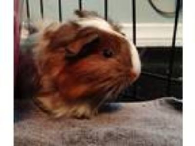 Adopt Snickers a Guinea Pig small animal in Brea, CA (25880732)