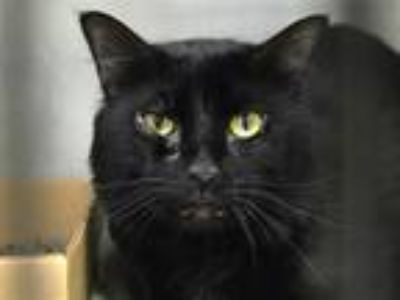 Adopt Shadow a Domestic Shorthair / Mixed (short coat) cat in New York