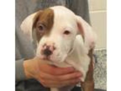 Adopt Jack Johnson a Boxer / Mixed dog in Golden, CO (25342758)