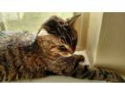 Adopt Nicki a Brown Tabby American Shorthair / Mixed cat in Saratoga Springs