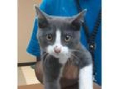 Adopt GUIN a Gray or Blue Domestic Shorthair / Domestic Shorthair / Mixed cat in