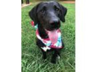 Adopt Izzy a Black Labrador Retriever