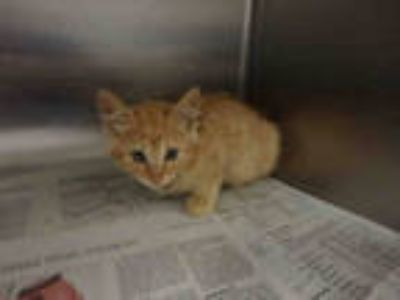 Adopt AURIUS a Orange or Red Tabby Domestic Shorthair / Mixed (short coat) cat