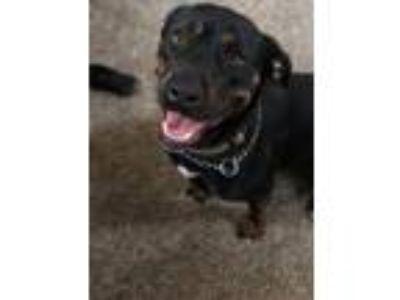 Adopt Rosie a Tricolor (Tan/Brown & Black & White) Rottweiler / German Shepherd