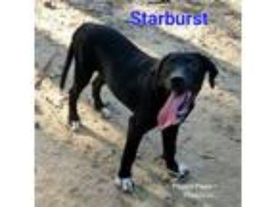 Adopt Starburst a Black Labrador Retriever