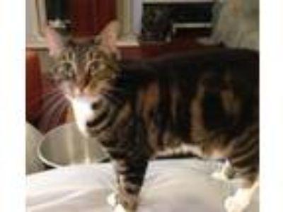 Adopt Tifa a American Shorthair