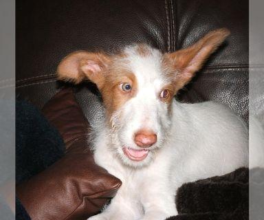 Ibizan Hound PUPPY FOR SALE ADN-122364 - Fusion Ibizan Hounds