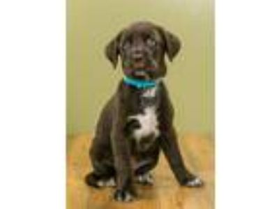 Adopt Cami Jean a Labrador Retriever, Mixed Breed