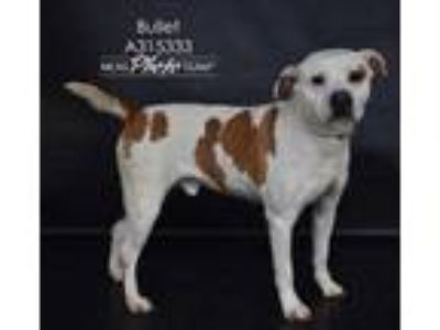 Adopt BULLET a White - with Brown or Chocolate Boxer / Brittany / Mixed dog in