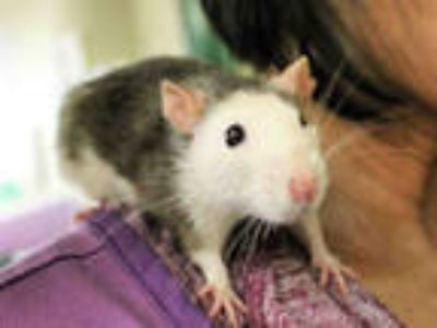 Adopt ASHLEY a Silver or Gray Rat / Mixed small animal in San Francisco