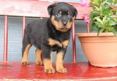 laudable Rottweiler puppies