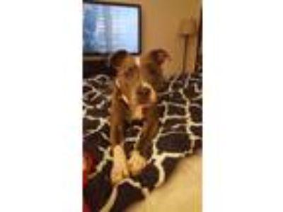 Adopt Cora a Gray/Blue/Silver/Salt & Pepper American Pit Bull Terrier / Mixed