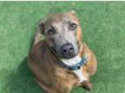 Adopt BEAR a Brindle - with White American Pit Bull Terrier / Mixed dog in