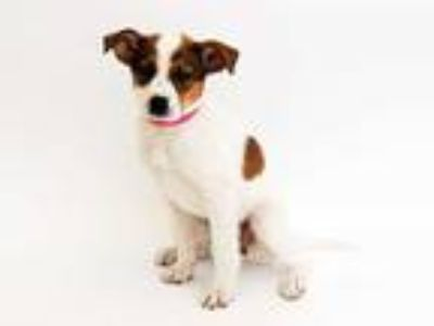 Adopt JEAN a Brown/Chocolate - with White Australian Cattle Dog / Mixed dog in