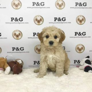 MALTIPOO - JAMES - MALE