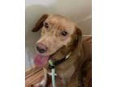 Adopt Margarita a Retriever, Beagle