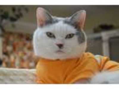 Adopt Beetle Bailey a Gray or Blue (Mostly) Domestic Shorthair (short coat) cat