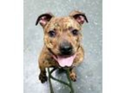 Adopt REMY 38170 a Pit Bull Terrier