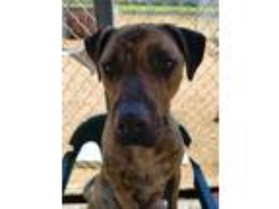Adopt Haze a American Staffordshire Terrier, German Shepherd Dog