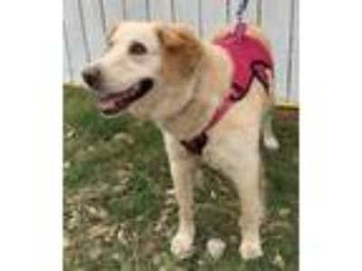 Adopt Ginger a Golden Retriever, Labrador Retriever
