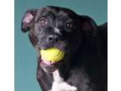 Adopt Frankie a Pit Bull Terrier, American Staffordshire Terrier