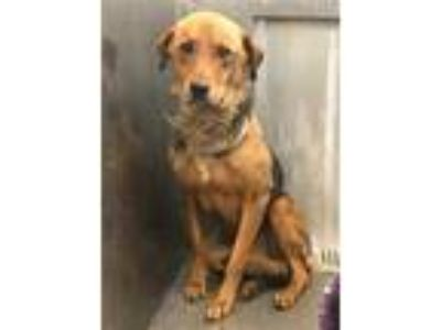 Adopt MYRTLE a Brown/Chocolate - with Black German Shepherd Dog / Mixed dog in