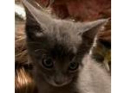 Adopt Pewter - Gorgeous, Sweet, Loving, Russian-Blue Boy! a Russian Blue