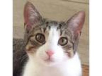 Adopt Abbie a Domestic Short Hair