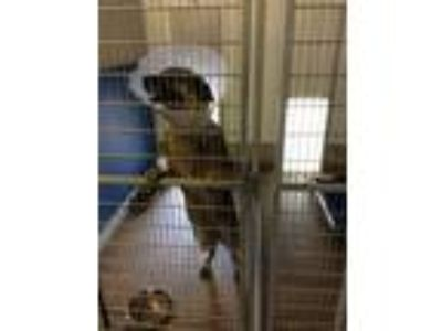 Adopt Blaire St. Claire a German Shepherd Dog
