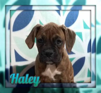 Haley Female Boxer