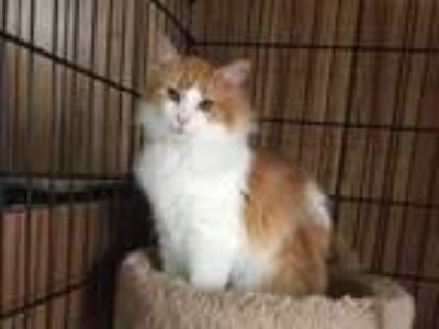 Adopt Kenzi a Domestic Mediumhair / Mixed (short coat) cat in Cumberland