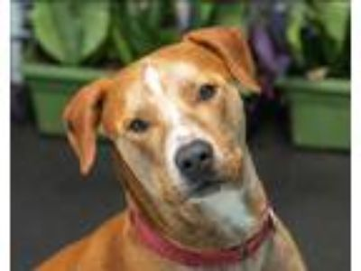Adopt Max a Red/Golden/Orange/Chestnut - with White Mixed Breed (Large) / Blue