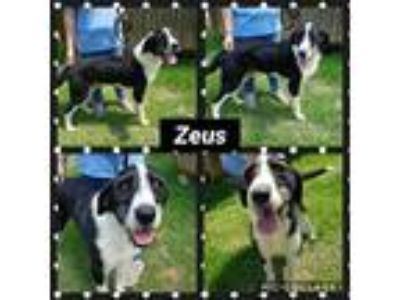 Adopt Zeus a Black - with White Great Dane / Labradoodle / Mixed dog in