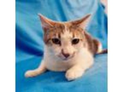 Adopt Willy a Gray or Blue Domestic Shorthair cat in Culver City, CA (25771201)