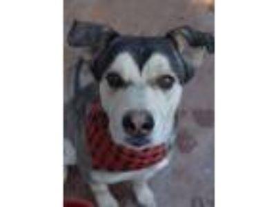 Adopt Bryan a Siberian Husky, German Shepherd Dog