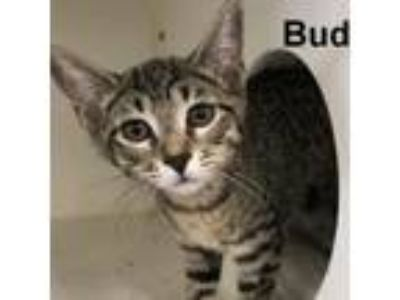 Adopt Bud a Domestic Short Hair