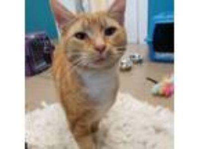 Adopt Mac a Domestic Short Hair
